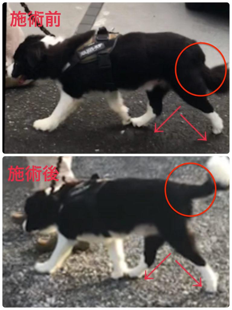 犬の整体ビフォーアフター(飼い主様向け犬の整体講座からのご報告)
