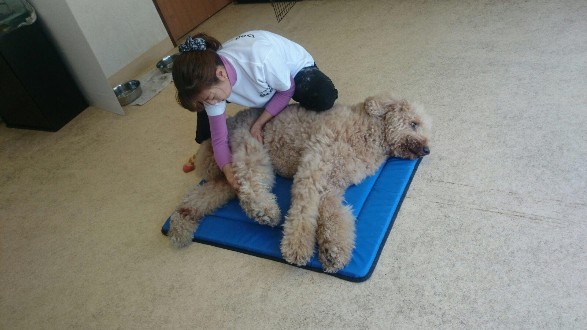 スタンダードプードル老犬10歳雄変形性関節炎