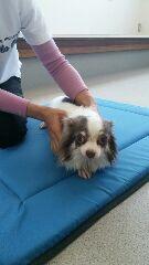 チワワ老犬9歳雌ヘルニア
