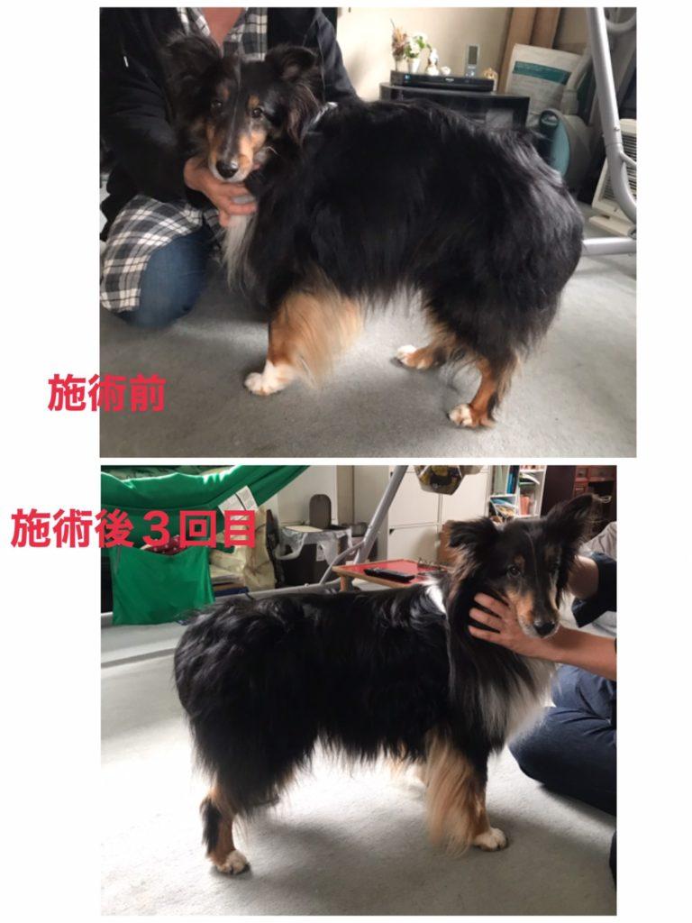 犬の整体 オラオラ