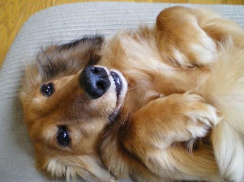 ドッグマッサージ・整体は老犬のケアに最適!