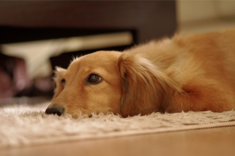 老犬介護は環境を整えることが大切!相模原や海老名に出張が可能なドッグマッサージを利用しよう!