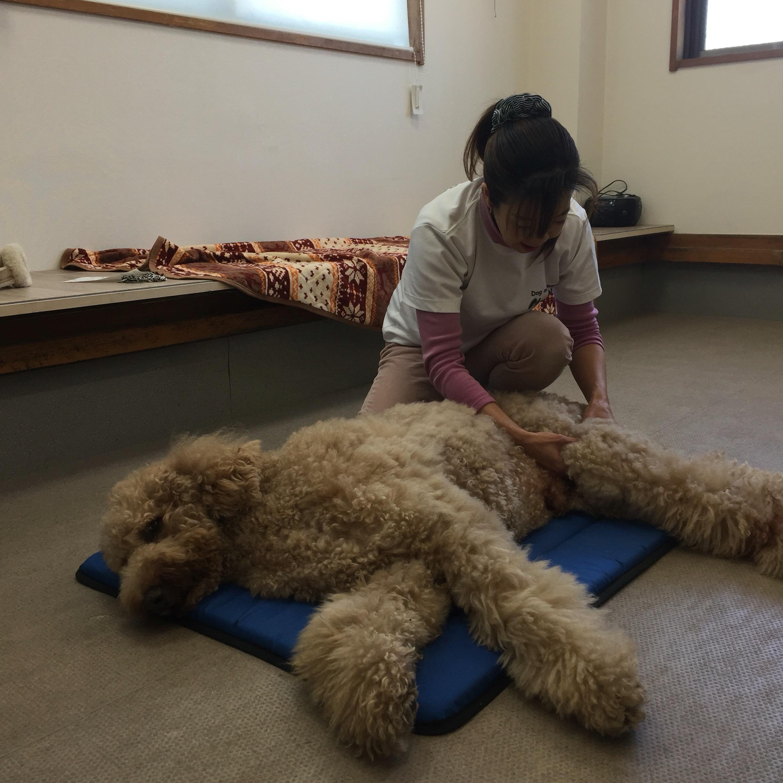 スタンダードプードル老犬変形性関節炎10歳雄
