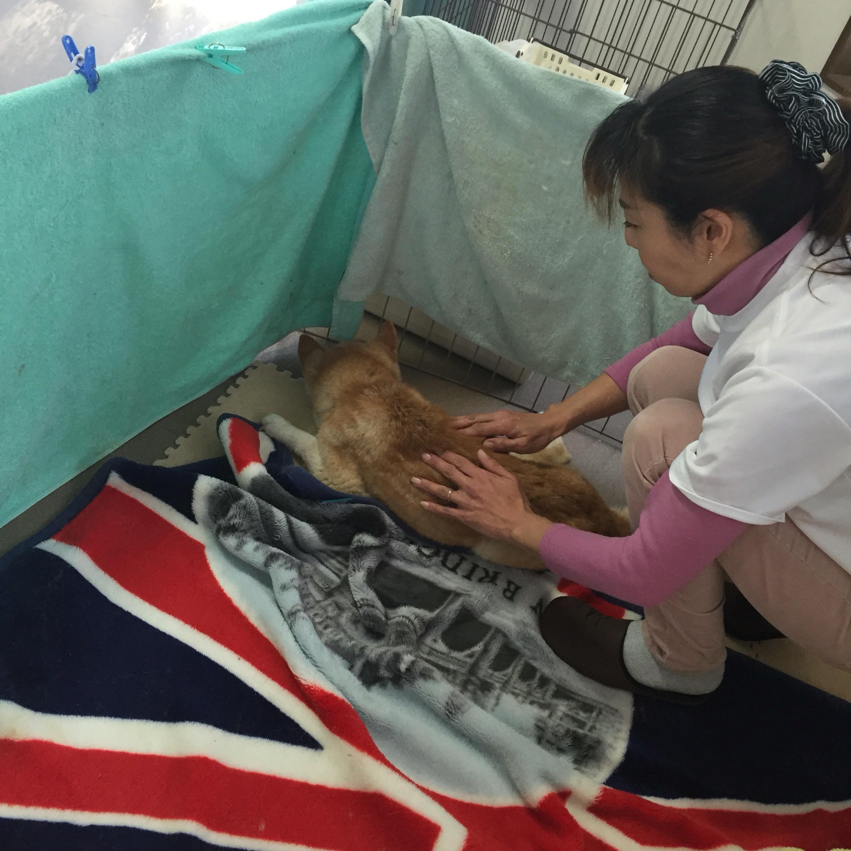 柴犬シニア老犬17歳痴呆症の雌