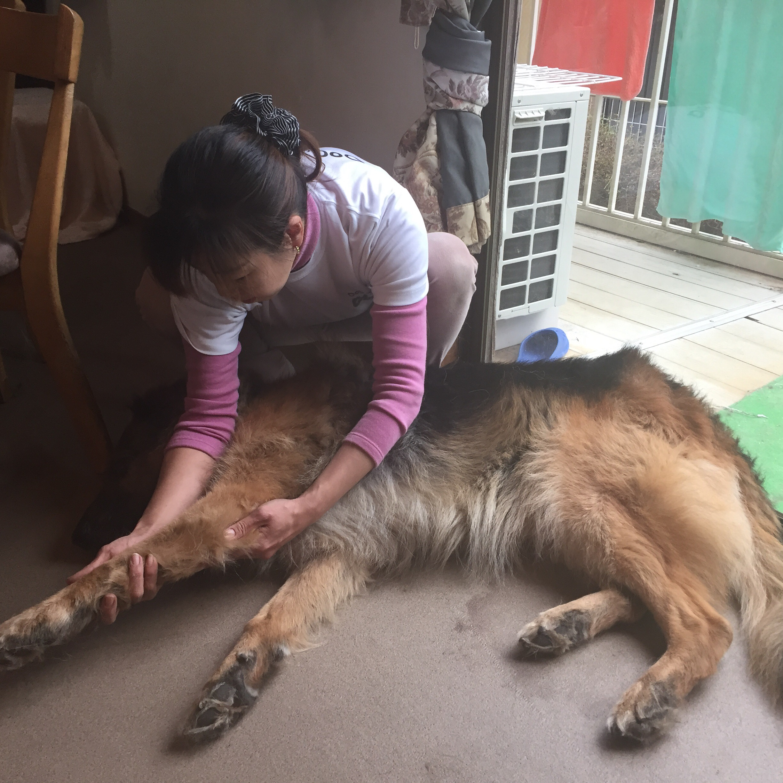 ドッグマッサージ ジャーマンシェパード 11歳 老犬 シニア