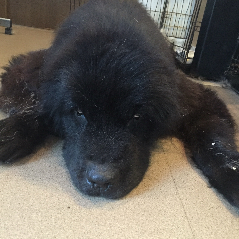 ニューファンドランド 老犬 シニア 11歳 ドッグマッサージ
