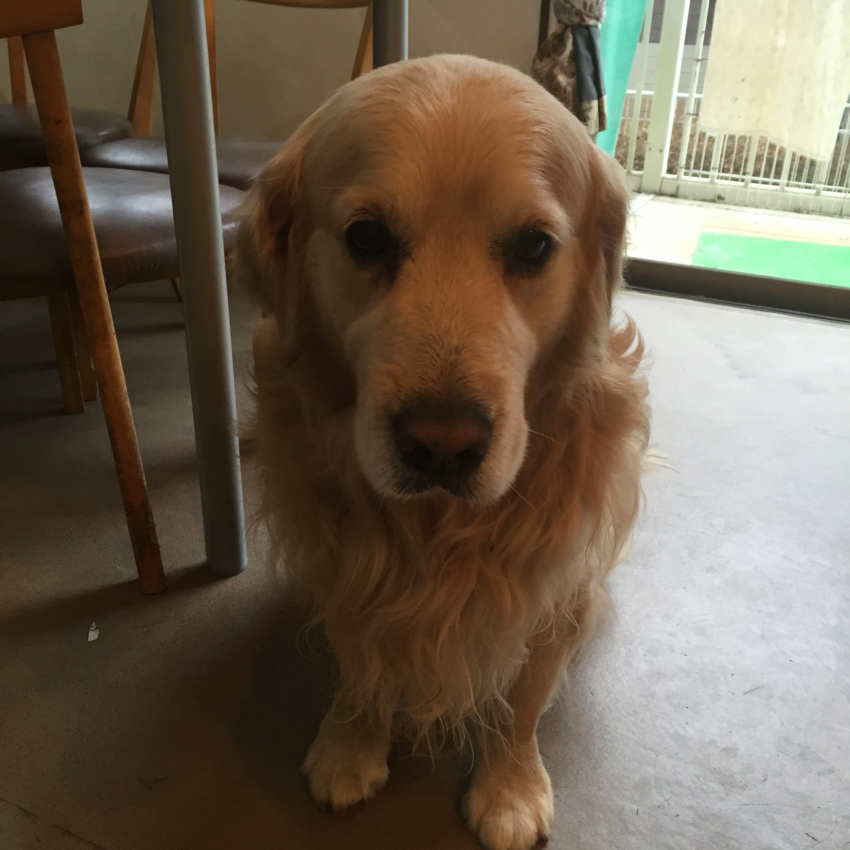 ドッグマッサージ ゴールデンレトリバー 12歳 老犬 シニア