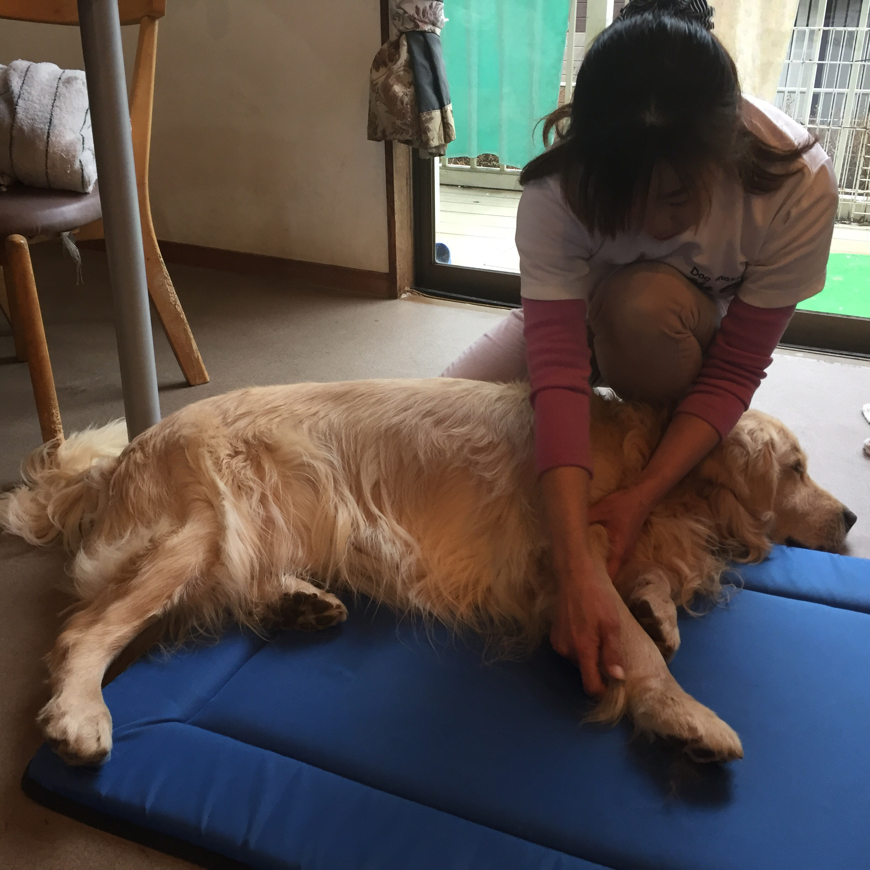ドッグマッサージ ストレッチ ゴールデンレトリバー 12歳 シニア 老犬