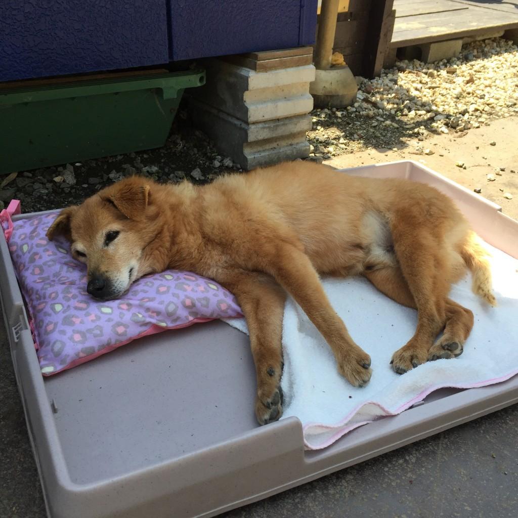 柴犬の犬の整体による歩行改善 1