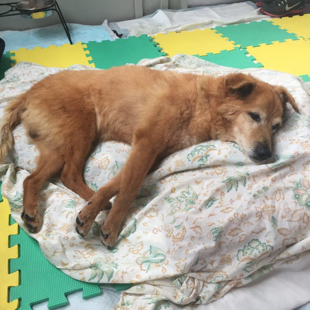 柴犬の犬の整体による歩行改善 2